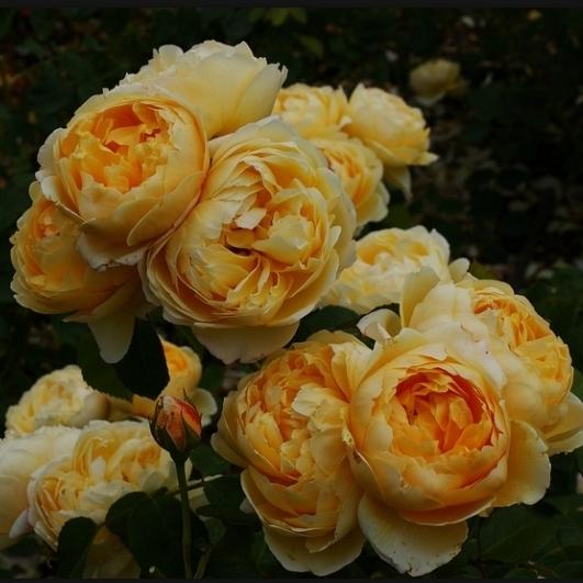 Четыре клумбы снаружи окружены лавандой и засажены розой морщинистой (Rosa rugosa 'Alba'), сортами розы столистной...
