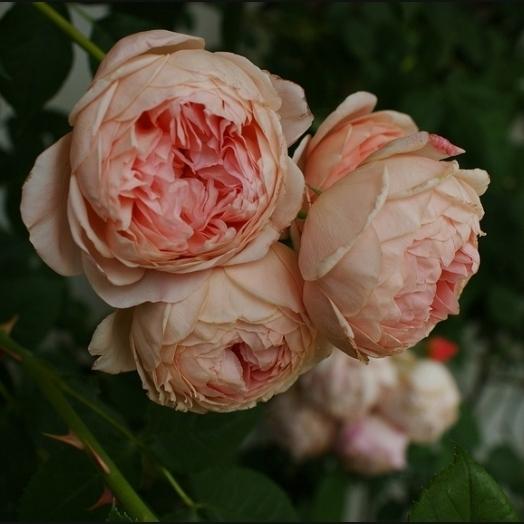 Английские розы Дэвида Остина.  Нажмите, чтобы увеличить.