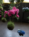 Отлично вегетируют и цветут горнтензия с азалией