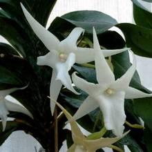 Оплодотворение у орхидей