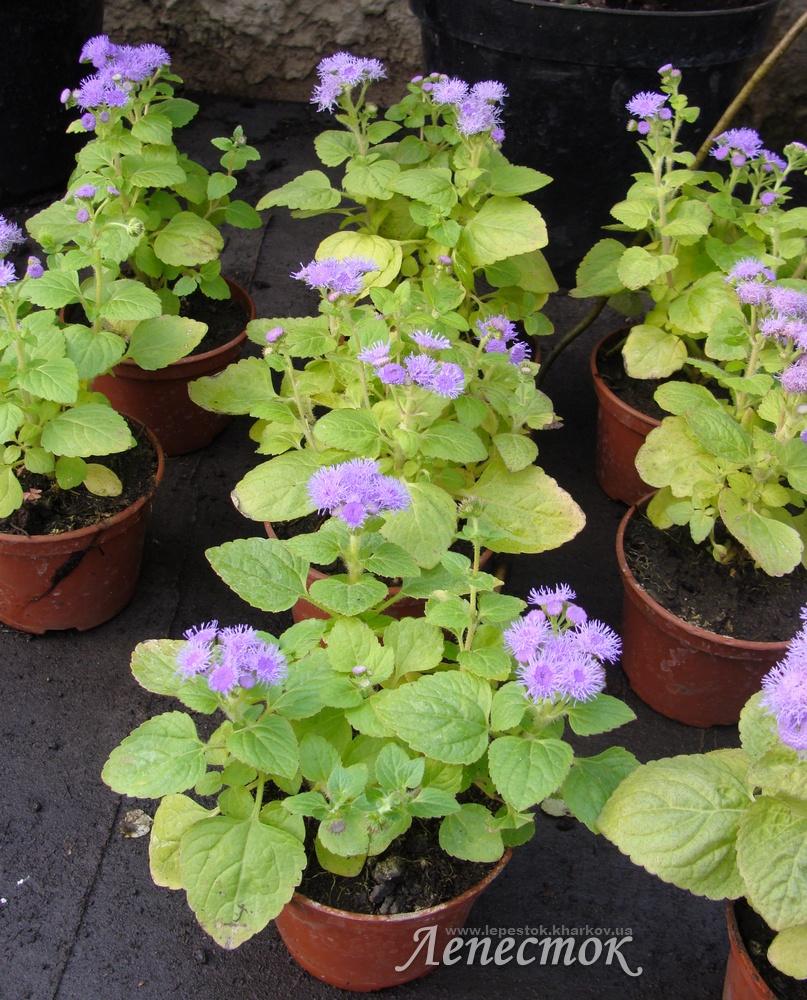 Агератум выращивание из семян 45