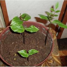 как выглядят семена кобеи фото