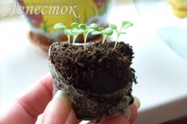 Выращивание петунии в торфяных горшочках